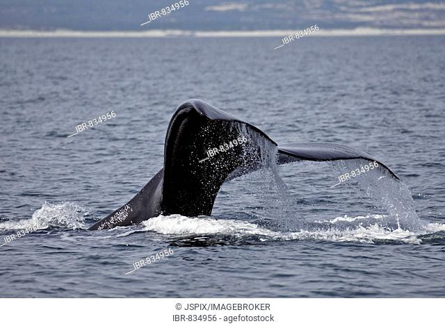 Southern Right Whale (Eubalaena australis), caudal fin, South Africa