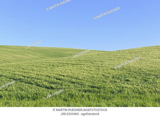 Green wheat field with clear blue sky near Ronda, spring. Ronda, Malaga Province, Andalusia, Spain, Mediterranean Area