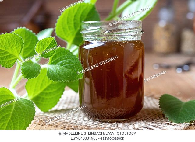 Silver spurflower syrup against common cold with fresh Plectranthus argentatus plant
