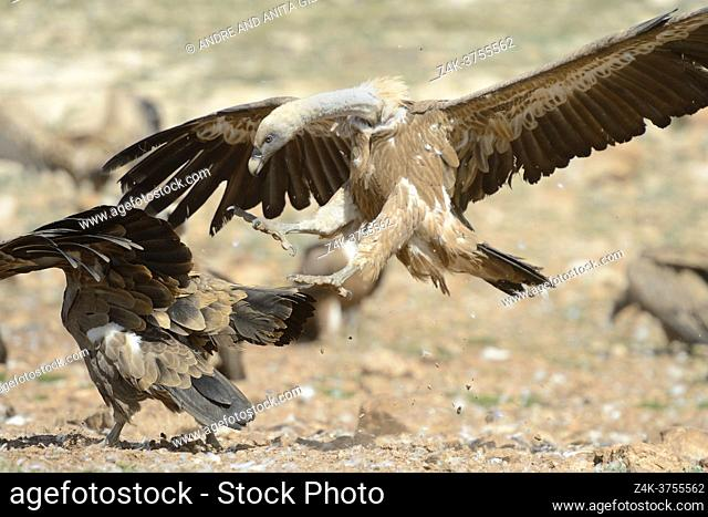 Griffon Vulture (Gyps fulvus) on the ground with another jumping up, Pyrenees, Spain