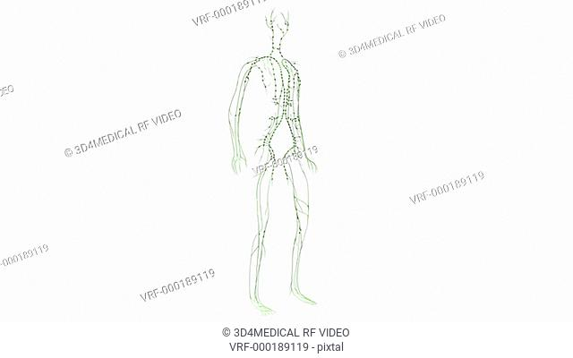 Animation depicts a full rotation of the lymphatic system or lymphoid system