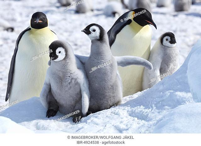 Emperor penguins (Aptenodytes forsteri), chicks with adults, Snow Hill Island, Weddell Sea, Antarctica