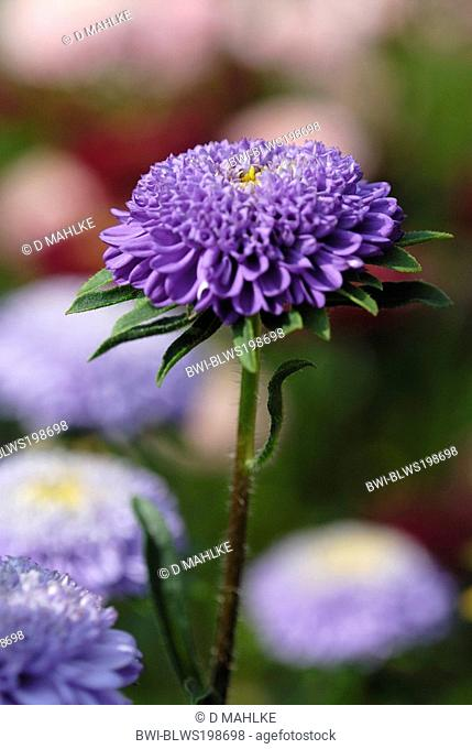 Chinese aster, China Aster Callistephus chinensis, inflorescence