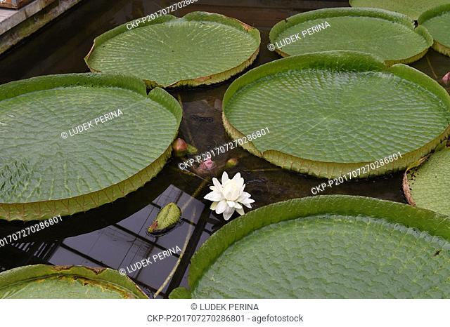 The extraordinarily large flower of the tropical water lily Victoria cruziana, the largest species of water lily in the world