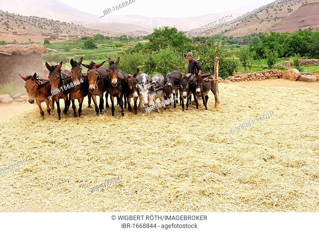 Young man driving horses and donkeys tethered to a stake in a circle over harvested grain to separate the grain from the ears, High Atlas, Morocco, Africa