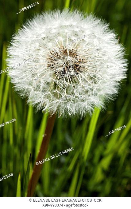 Dandelion seedhead. Burgos. Spain