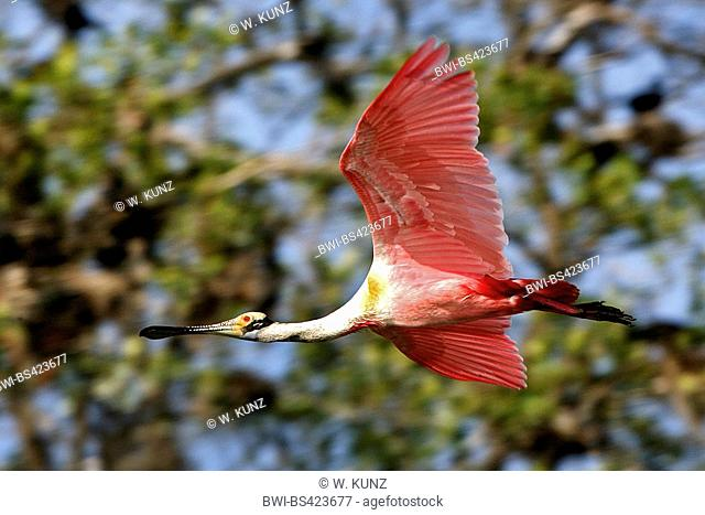 Roseate spoonbill (Ajaia ajaja, Platalea ajaja), flying, Costa Rica