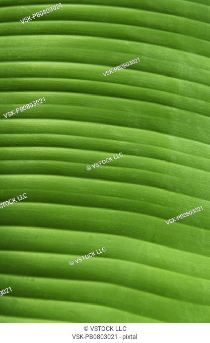 Tropical plant leaf texture