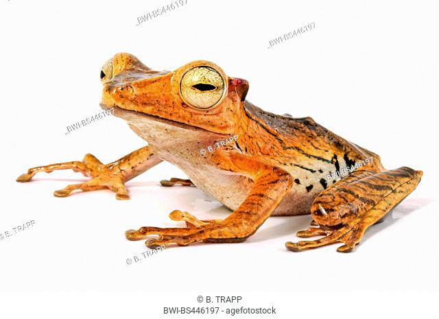file-eared tree frog, Borneo eared frog, or bony-headed flying frog (Polypedates otilophus), sitting, cut out, Indonesia