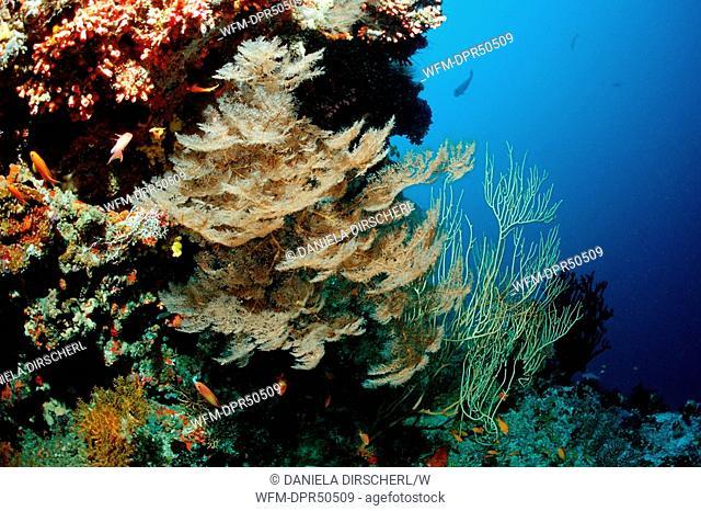 Black Feather Coral, Antipathes dichotoma, North Ari Atoll, Maldives