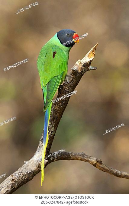 Slaty headed parakeet, Psittacula himalayana, Sattal, Uttarakhand, India
