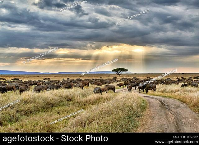 African buffalo (Syncerus caffer). Herd at sunset in landscape of Serengeti National Park, UNESCO world heritage site, Tanzania, Africa