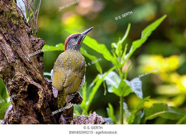 green woodpecker (Picus viridis), young green woodpecker on the feed, Switzerland, Sankt Gallen
