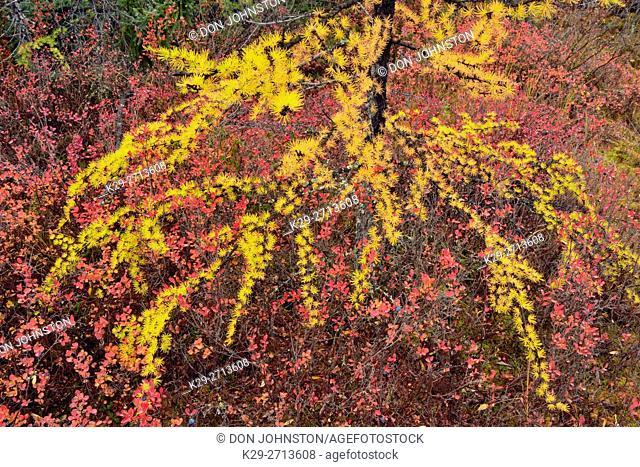 Barrenground vegetation in autumn near Ennadai Lake- larch, blueberry , Arctic Haven Lodge, Ennadai Lake, Nunavut, Canada