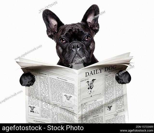 black french bulldog reading a big newspaper
