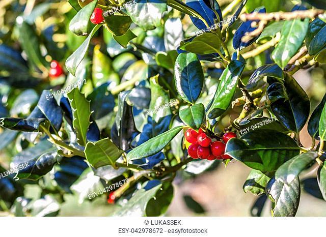 Prunus laurocerasus, red cherry laurel blossoms in the winter