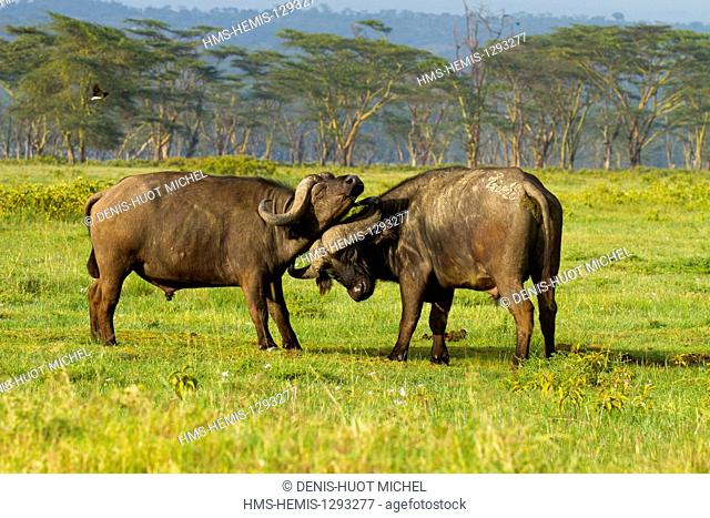 Kenya, Nakuru national park, buffaloes (Syncerus caffer), males fighting
