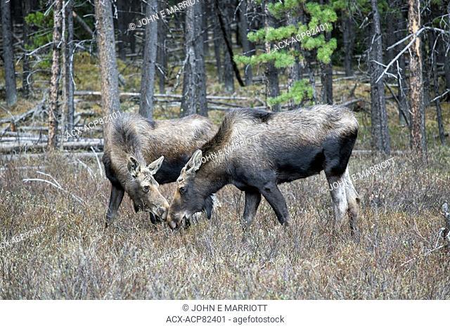 Moose in Jasper National Park, Alberta, Canada