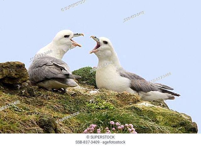 Pair of Northern fulmars Fulmarus glacialis calling