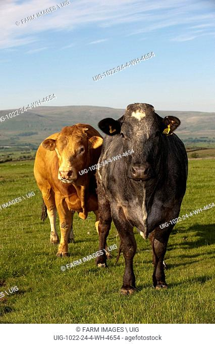 Limousin bull alongside a suckler cow which is on heat. Cumbria. (Photo by: Wayne Hutchinson/Farm Images/UIG)