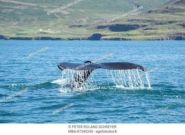Iceland, Eyjafjord, whale watching, tail fin of a humpback whale at the coast, water dripping from fin, green farmland in the background