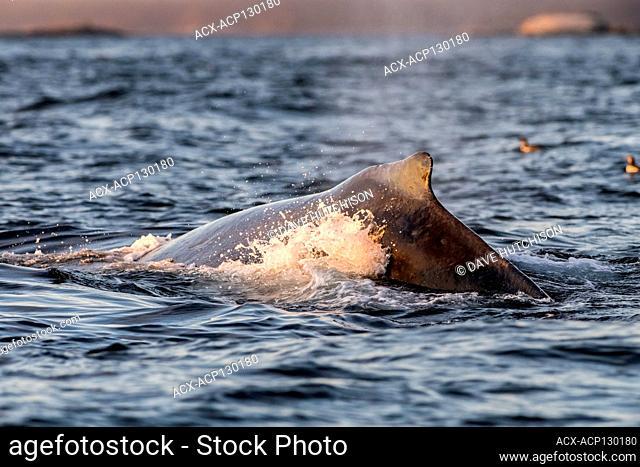 Humpback whale (Megaptera novaeangliae), Blackfish Sound, Vancouver Island, BC, Canada