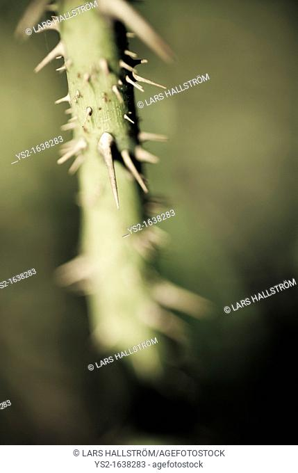 Thorns on rose stem