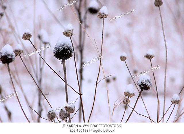 coneflowers, aka echinacea, in winter, brown, with snow on them