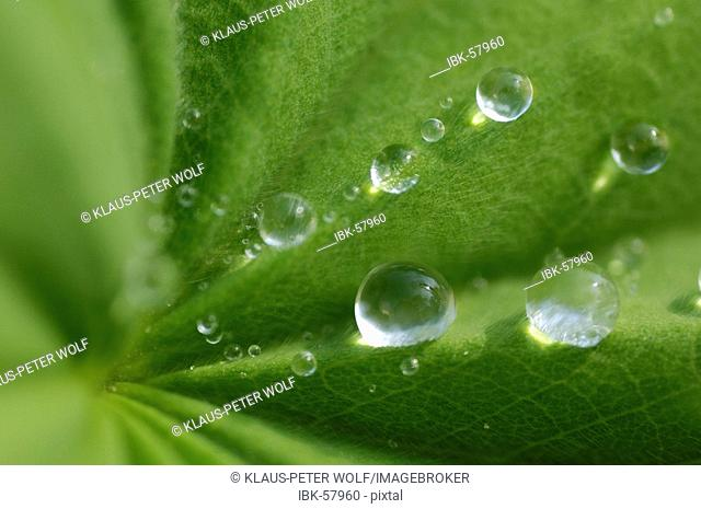 Water drops on lady's mantle leave Alchemilla mollis