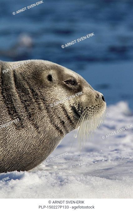 Bearded seal / square flipper seal (Erignathus barbatus) close up portrait, Svalbard, Norway