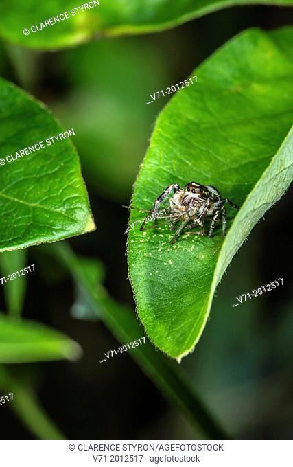 Daring Jumping Spider Phidippus audax Feeding on Midge Chironomous plumosus on Honeysuckle Leaf Lonicera japonica