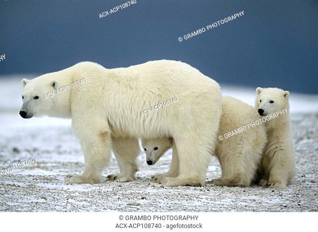 Cubs peek around mother polar bear, Ursus maritimus near Churchill, Manitoba, Canada