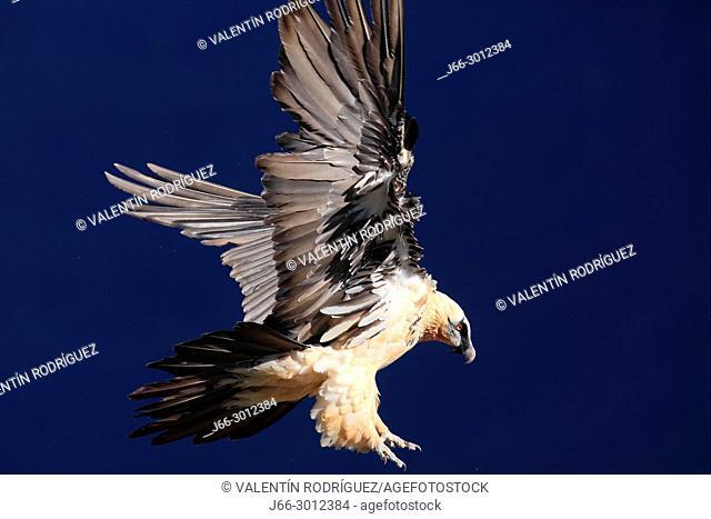 Bearded vulture (Gypaetus barbatus) in flight in the Ordesa y Monte Perdido national park. Huesca