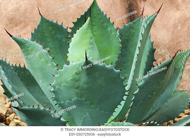 Close up of a Agave parryi succulent with markings etched into each leaf