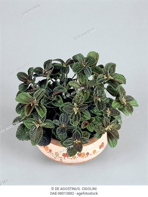 Houseplants - Urticaceae - Panamiga or Pan-American friendship plant (Pilea involucrata)
