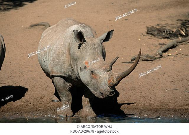 Wide-mouthed Rhinoceros, Mkuze Game Reserve, South Africa, Ceratotherium simum