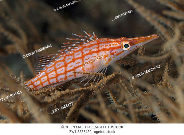 Longnose Hawkfish (Oxycirrhites typus, Cirrhitidae family) in coral, Caldera dive site, Komba Island, near Alor, Indonesia