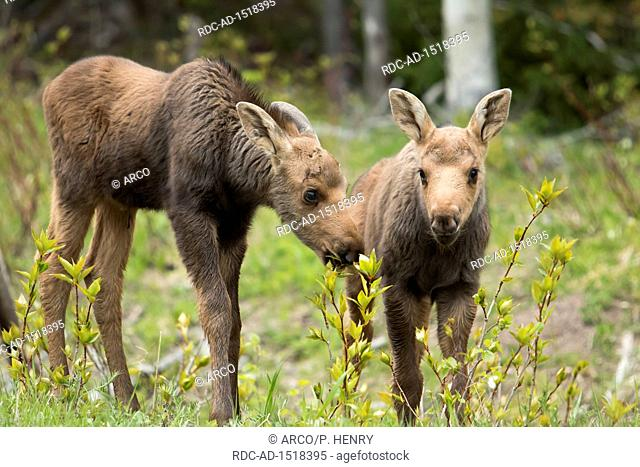 American moose, One month old calves, Alces americanus, Forillon national park, Quebec, Canada