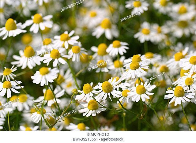 scented mayweed, german chamomile, german mayweed (Matricaria chamomilla, Matricaria recutita), Chamomile blooms