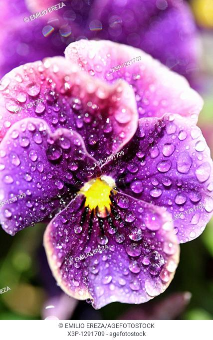 Droplets on pansy flower Viola tricolor