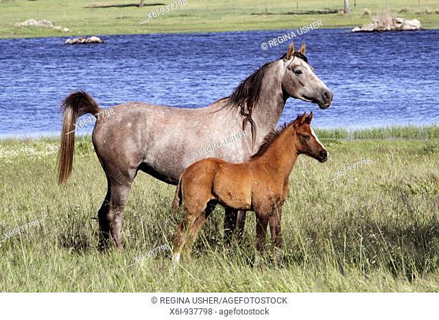 Arabic horses - mare with foal, on water meadow, Alentejo, Portugal