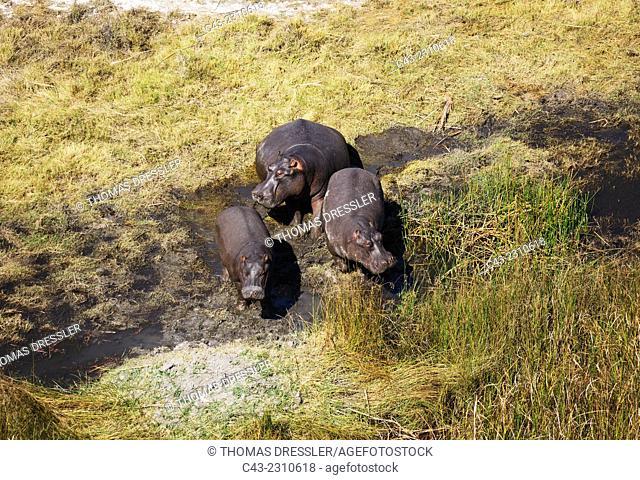 Hippopotamus (Hippopotamus amphibius), in a freshwater marsh, aerial view, Okavango Delta, Moremi Game Reserve, Botswana