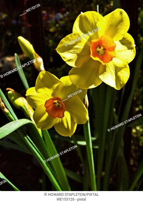 Jonquil a type of daffodil known as Narcissus jonquilla, oftern a more general term for daffodils