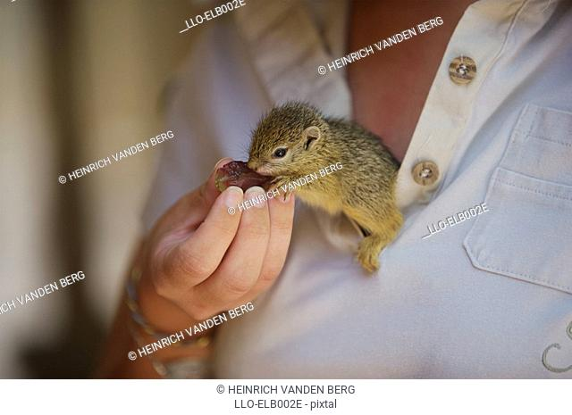 Baby Ground Squirrel Xerus inauris Eating a Grape  Sabi Sands Conservancy, Mpumalanga Province, South Africa