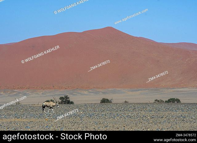 A South African oryx (Oryx gazellaat), also called Gemsbok or gemsbuck is walking through the desert landscape to a water hole in the Sossusvlei area