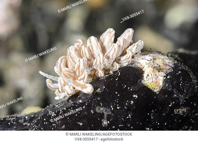 sea slug or nudibranch, Lembeh Phyllodesmium, Phyllodesmium lembehense, Lembeh Strait, North Sulawesi, Indonesia, Pacific