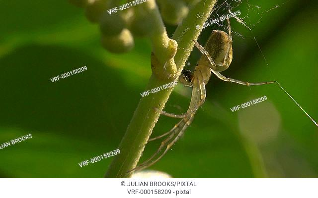 Spider - Meta segmentata devouring a fly - Extreme close up