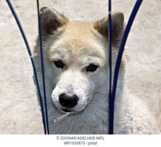 Husky Animal shelter