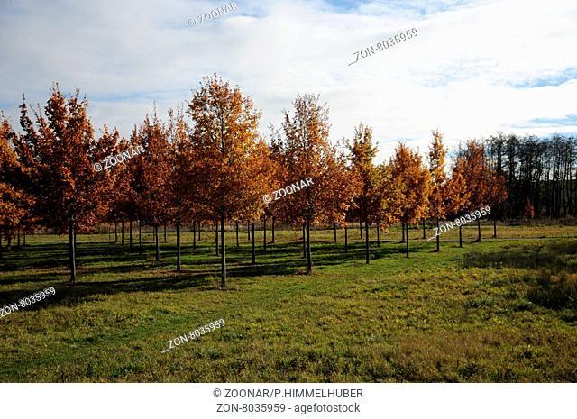 Quercus robur, Stieleiche, German oak, Herbstfärbung