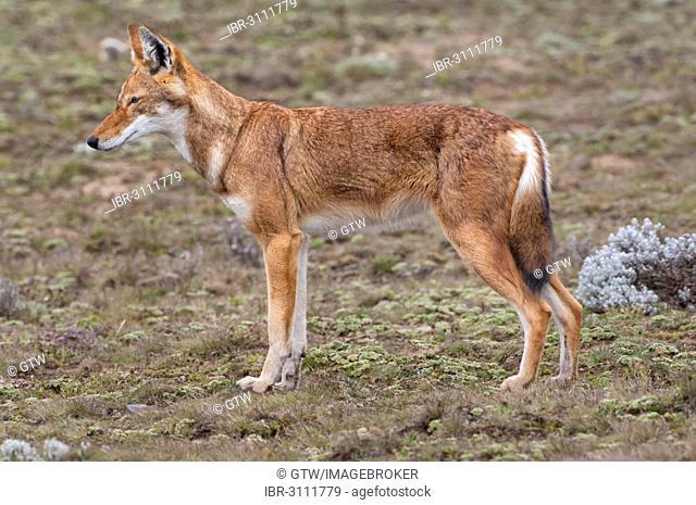 Ethiopian Wolf (Canis simensis), Bale Mountains National Park, Bale Zone, Oromia Region, Ethiopia